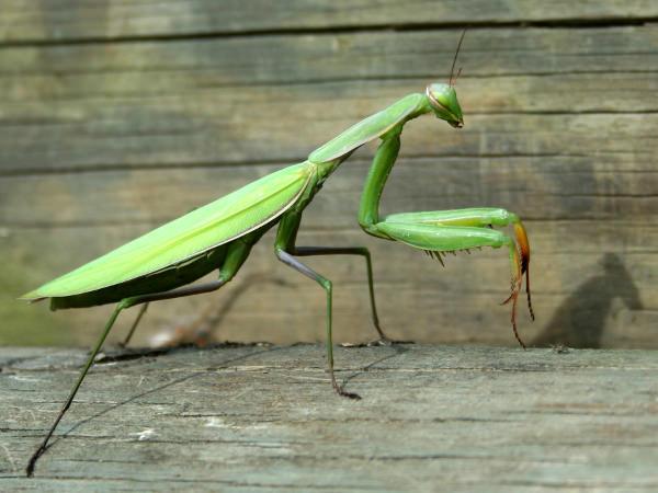 Mantis-la-lampe-Mante-religieuse-par-Guillermo-Zambrano-M-design-luminaire-blog-espritdesign-16.jpg
